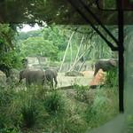 Elephants, Kilimanjaro Safari ride, Animal Kingdom, DisneyWorld, Orlando, FL 8/9/2016